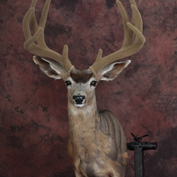 Upright | C.A.D Mule Deer | Manikins | Full Face and Body Anatomy